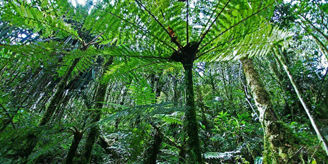 https://commons.wikimedia.org/wiki/File:21_Cyathea_Papua_Rain_Forest_Papua-Indonesia.jpg